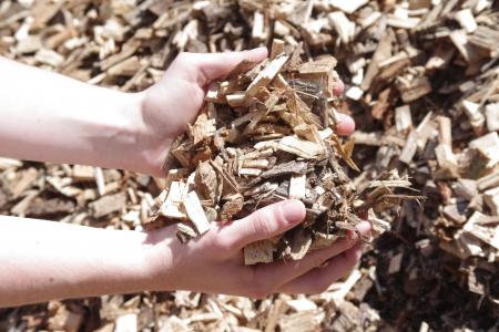 Des mains portent des copeaux de bois sec