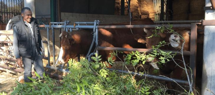 Adrien Messean Vache Stabul